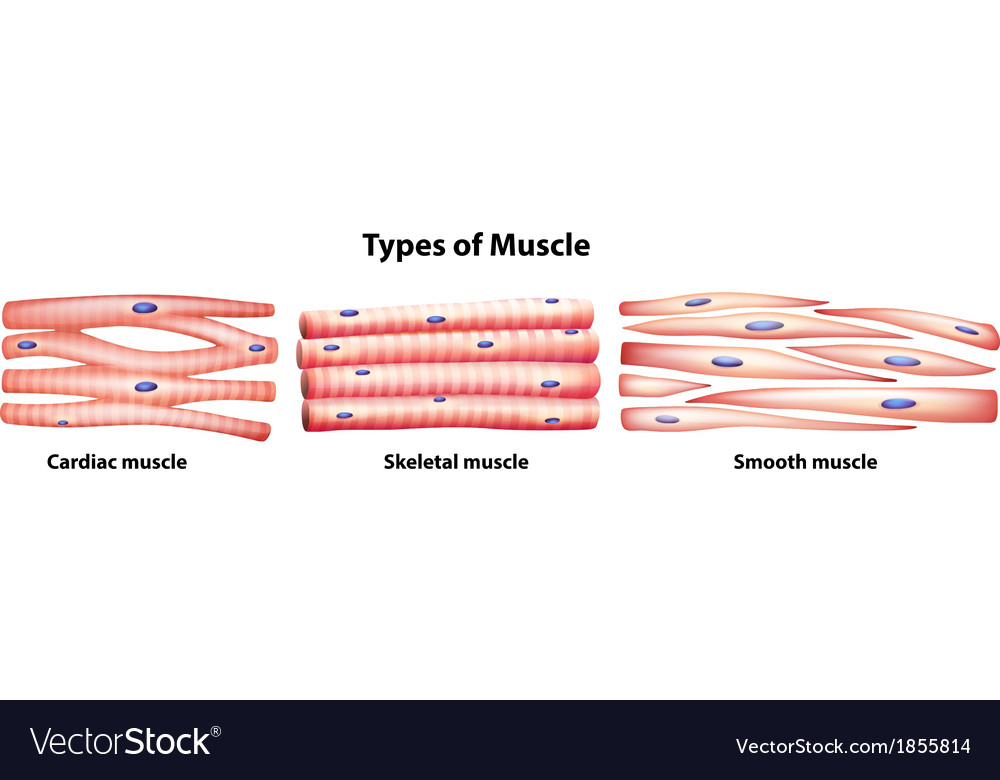 Types of muscles vector | Price: 1 Credit (USD $1)