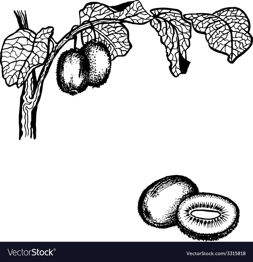 Kiwi berries and leaves vector | Price: 1 Credit (USD $1)