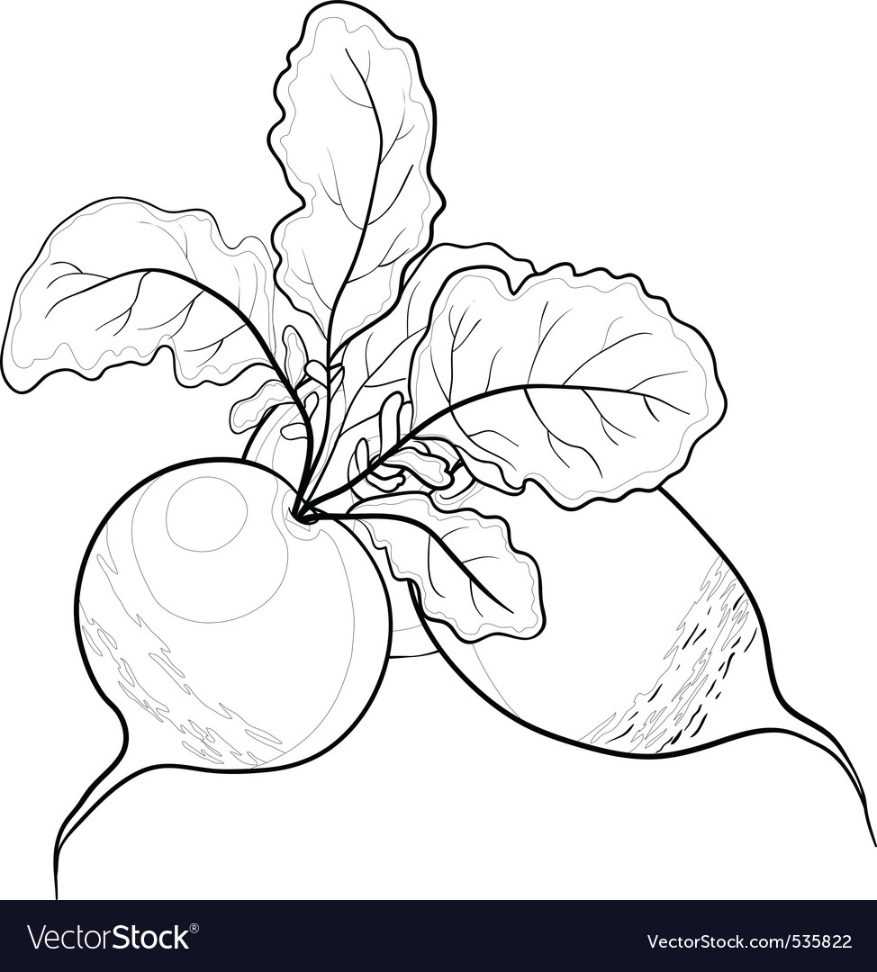 Radish with leaves contours vector | Price: 1 Credit (USD $1)