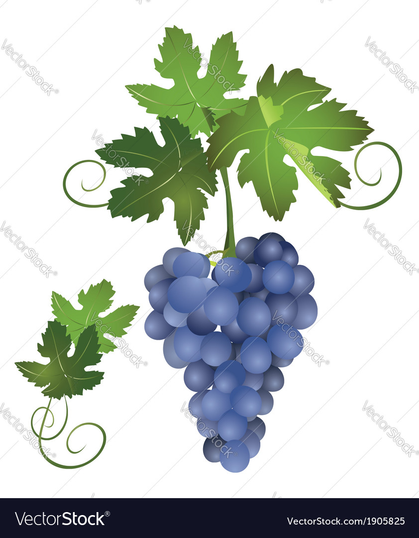 A bunch of blue grapes vector   Price: 1 Credit (USD $1)