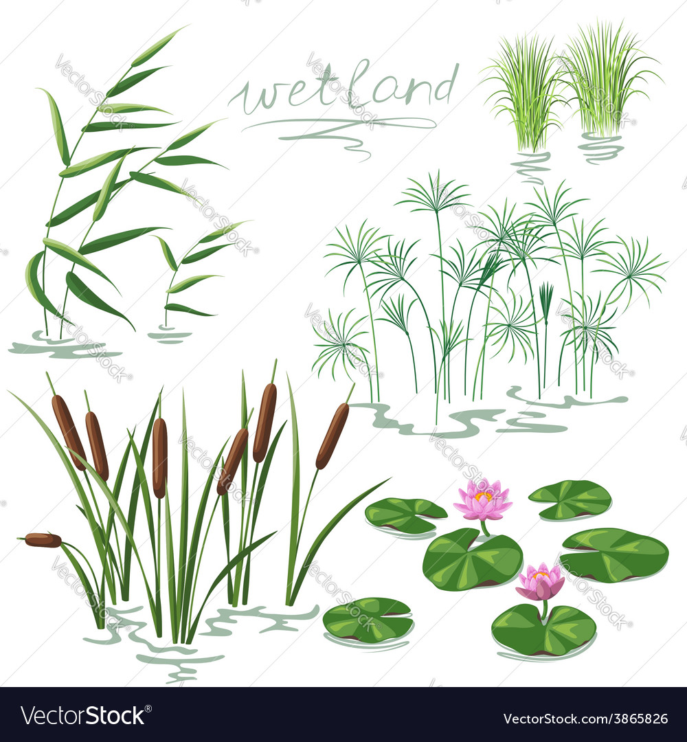 Wetland plant color vector | Price: 1 Credit (USD $1)