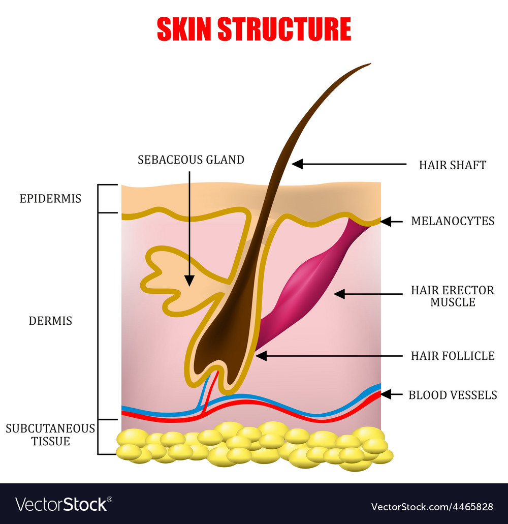 Skin structure vector | Price: 1 Credit (USD $1)