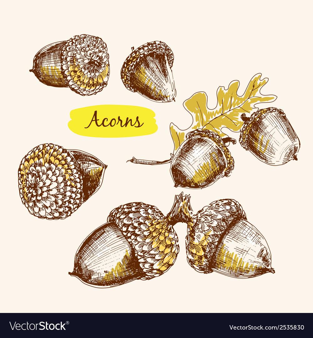 Acorns vector | Price: 1 Credit (USD $1)