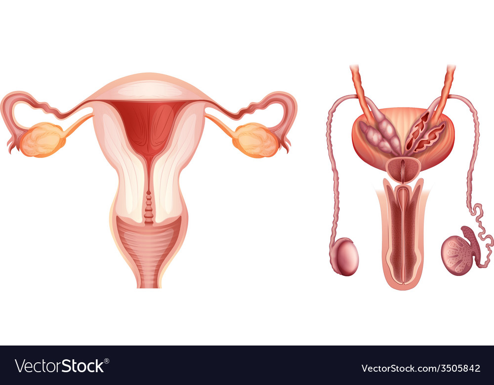 The male and female reproductive systems vector | Price: 1 Credit (USD $1)