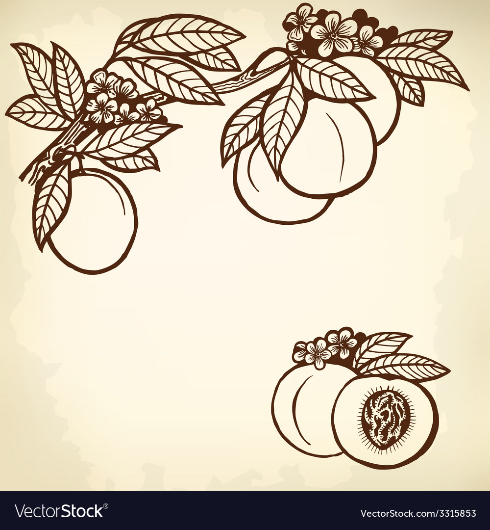 Peach branch vector | Price: 1 Credit (USD $1)
