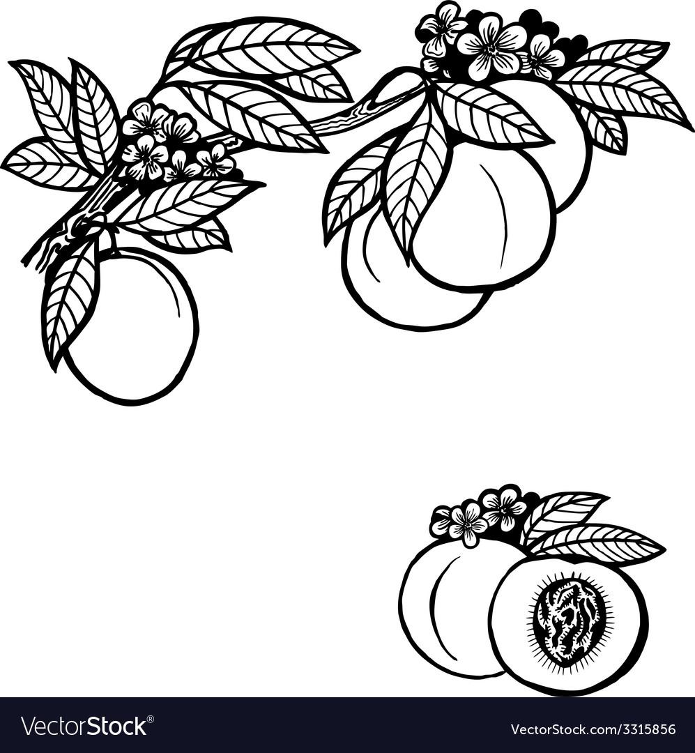 Peach branch vector | Price: 1 Credit (USD $1)