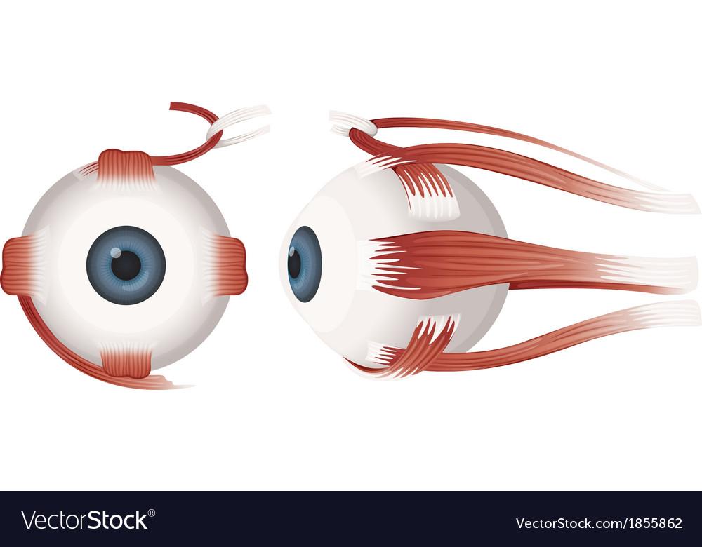 Human eye profiles vector | Price: 1 Credit (USD $1)