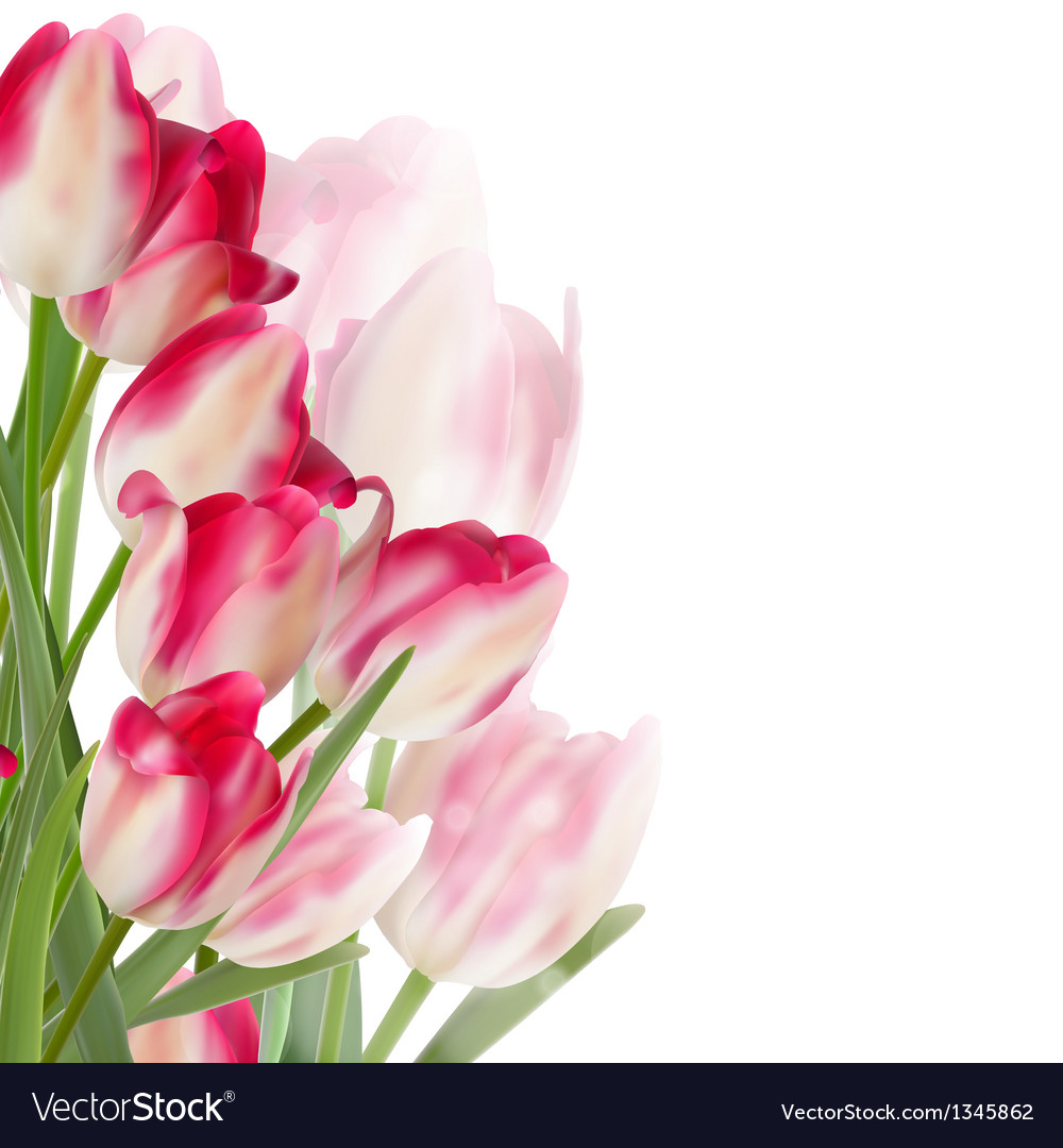 Tulip flowers isolated on white eps 10 vector | Price: 1 Credit (USD $1)