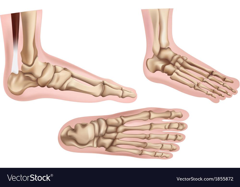 Foot bones vector   Price: 1 Credit (USD $1)