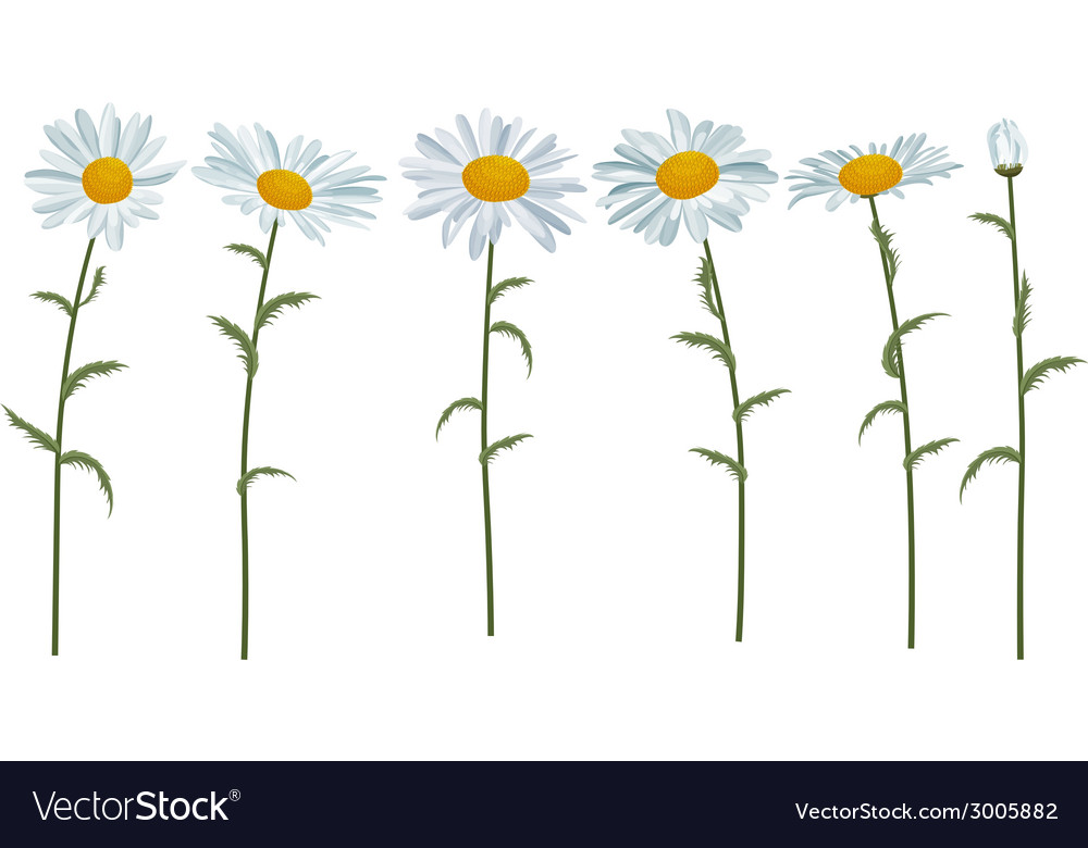 White realistic daisies isolated vector | Price: 1 Credit (USD $1)