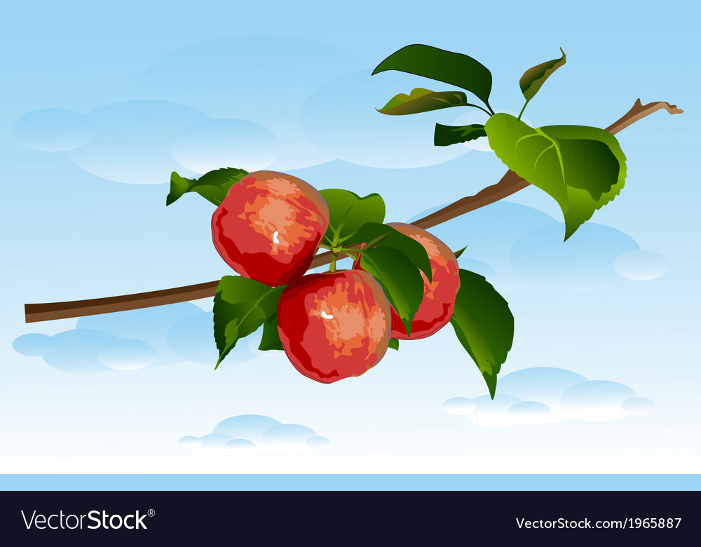 Three apples on a branch vector | Price: 1 Credit (USD $1)