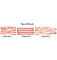 Types of muscles vector