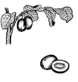 Kiwi berries and leaves vector