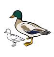 Mallard duck vector