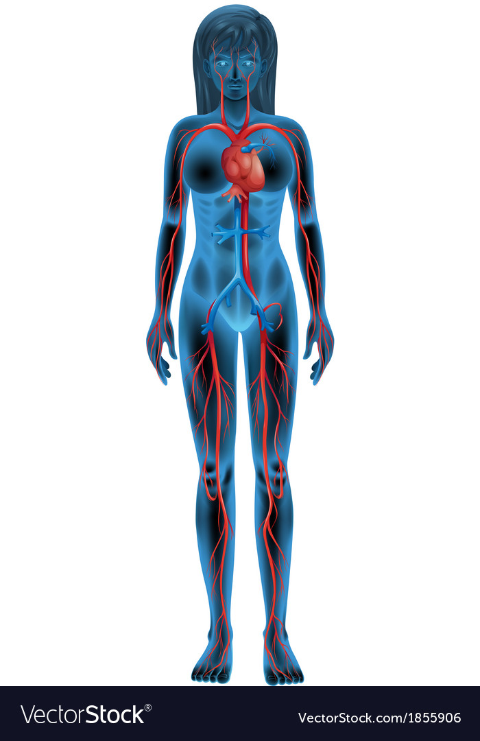 Human circulatory system vector | Price: 1 Credit (USD $1)