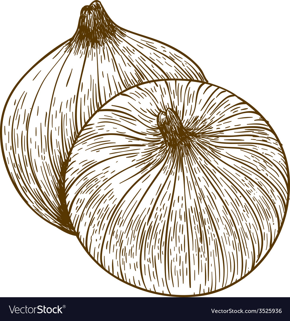 Engraving two onions vector | Price: 3 Credit (USD $3)