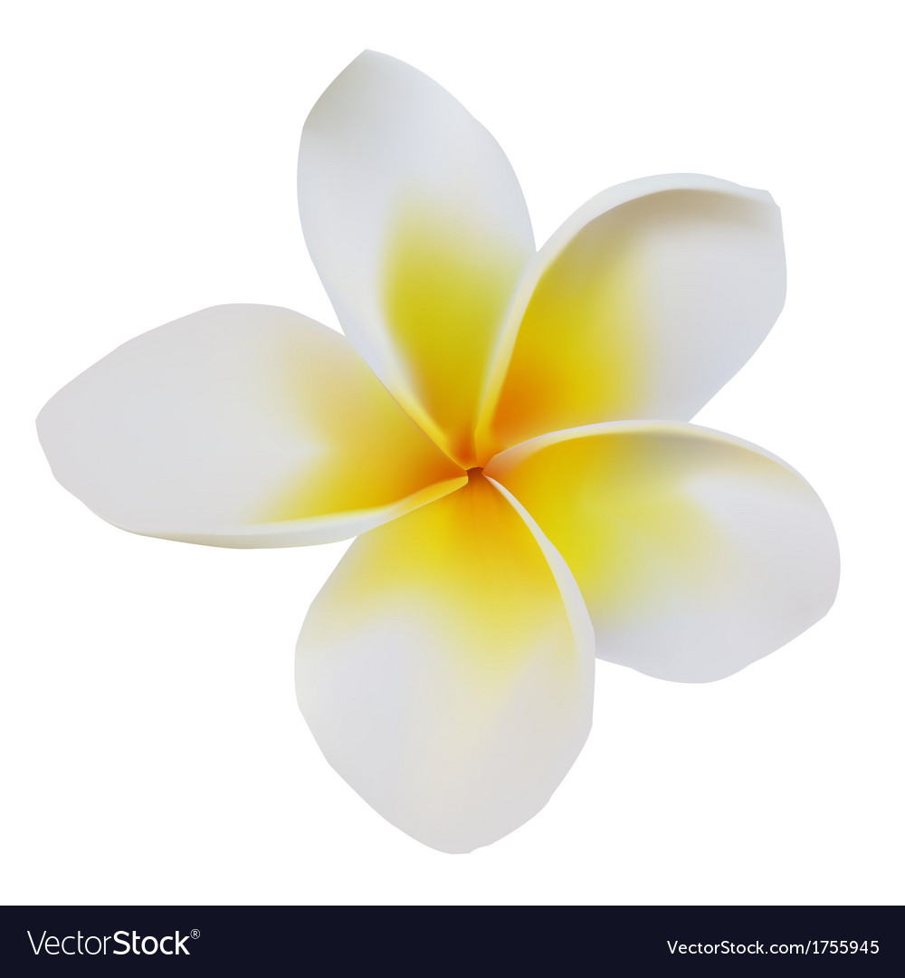 Balinese flower frangipani vector | Price: 1 Credit (USD $1)