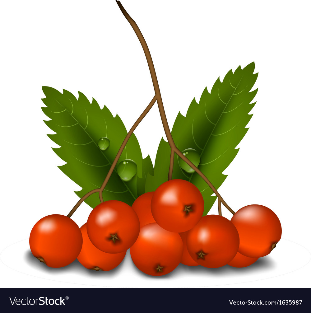 Rowan isolated vector | Price: 1 Credit (USD $1)