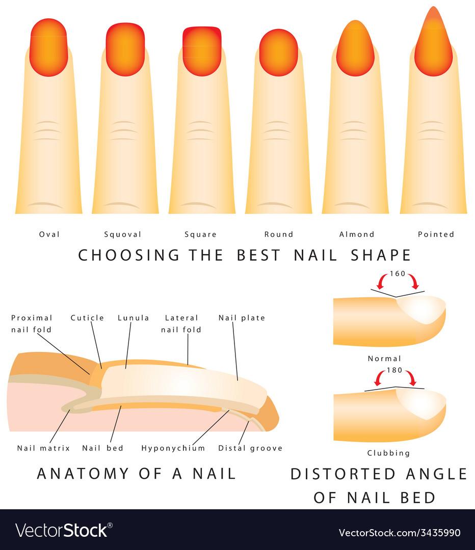 Nail shape vector | Price: 1 Credit (USD $1)