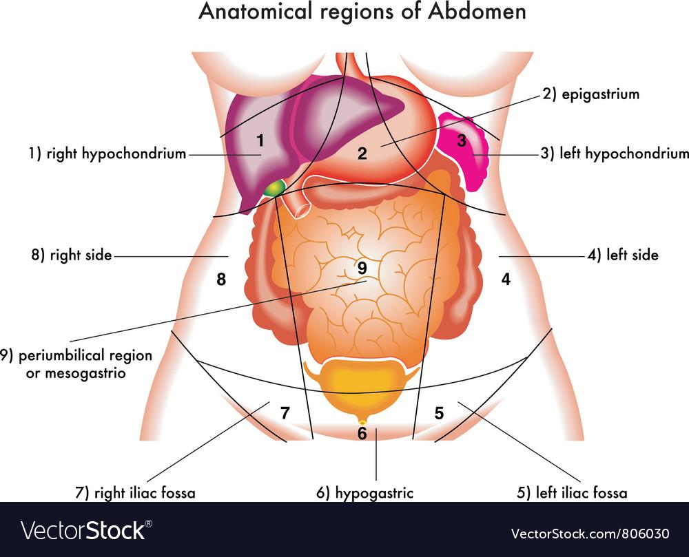 Abdomen vector | Price: 1 Credit (USD $1)
