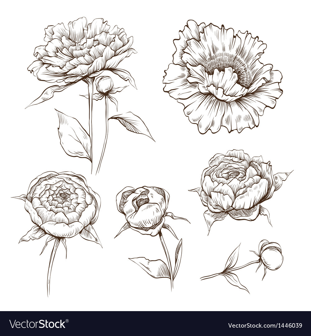 Hand drawn peony flowers set vector | Price: 1 Credit (USD $1)