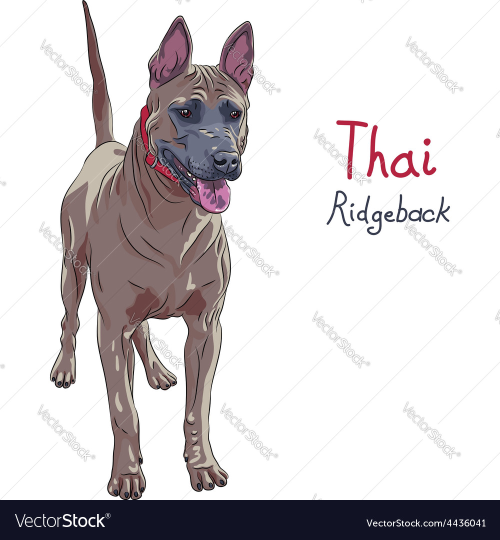 Red thai ridgeback dog breed standing vector | Price: 1 Credit (USD $1)