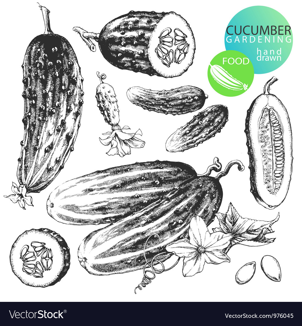 Cucumbers vector | Price: 1 Credit (USD $1)