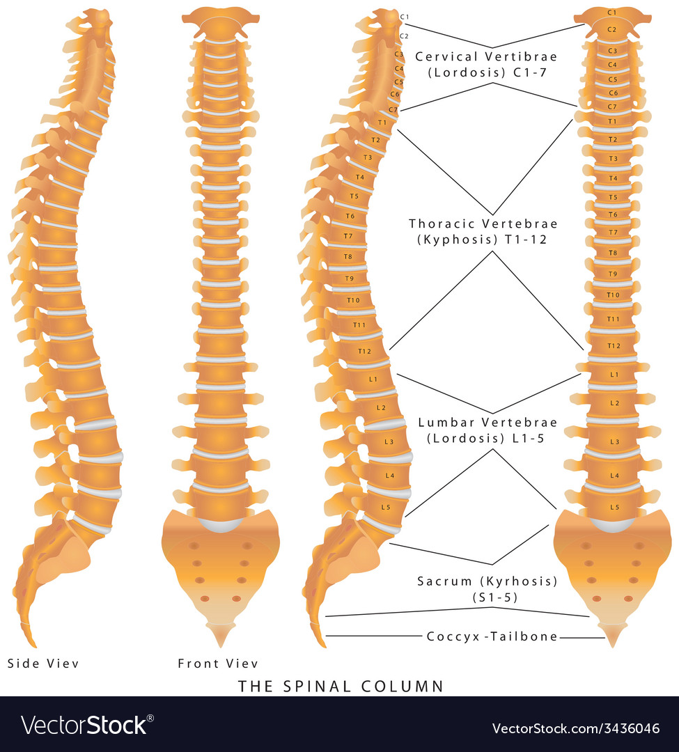 The spinal column vector | Price: 1 Credit (USD $1)