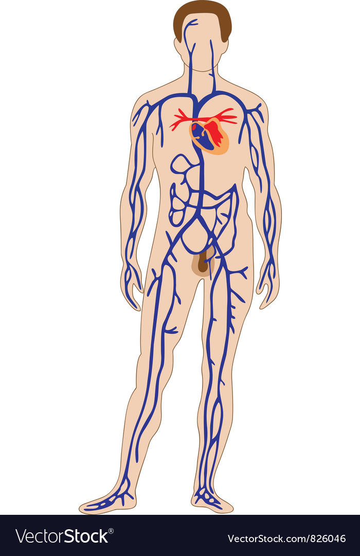 Venous system vector | Price: 1 Credit (USD $1)