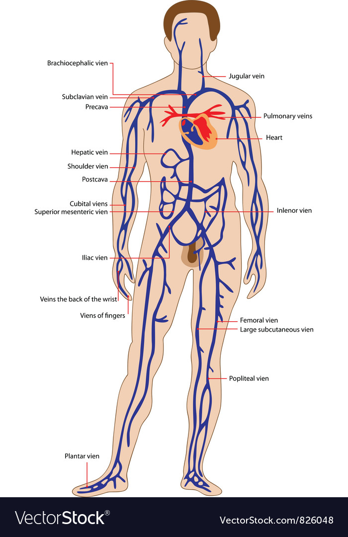 Venous system vector