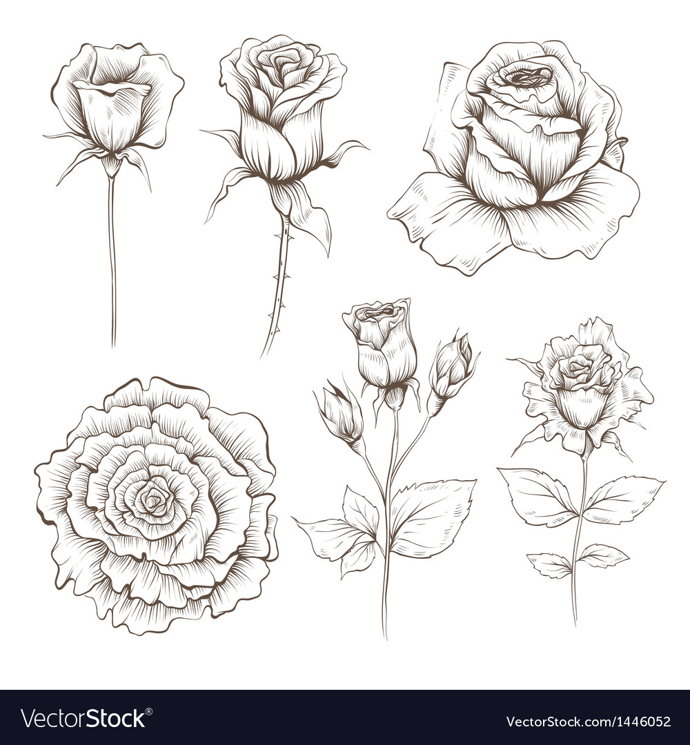 Hand drawn rose flowers set vector | Price: 1 Credit (USD $1)