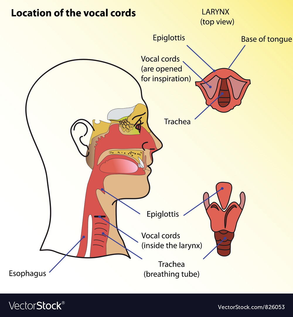Vocal cords vector | Price: 1 Credit (USD $1)