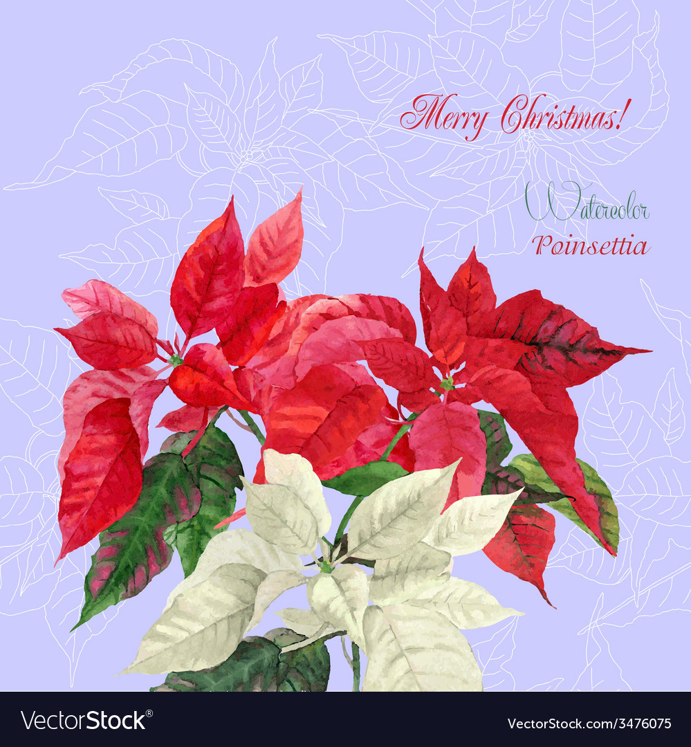 Background with bouquet of poinsettia vector | Price: 1 Credit (USD $1)
