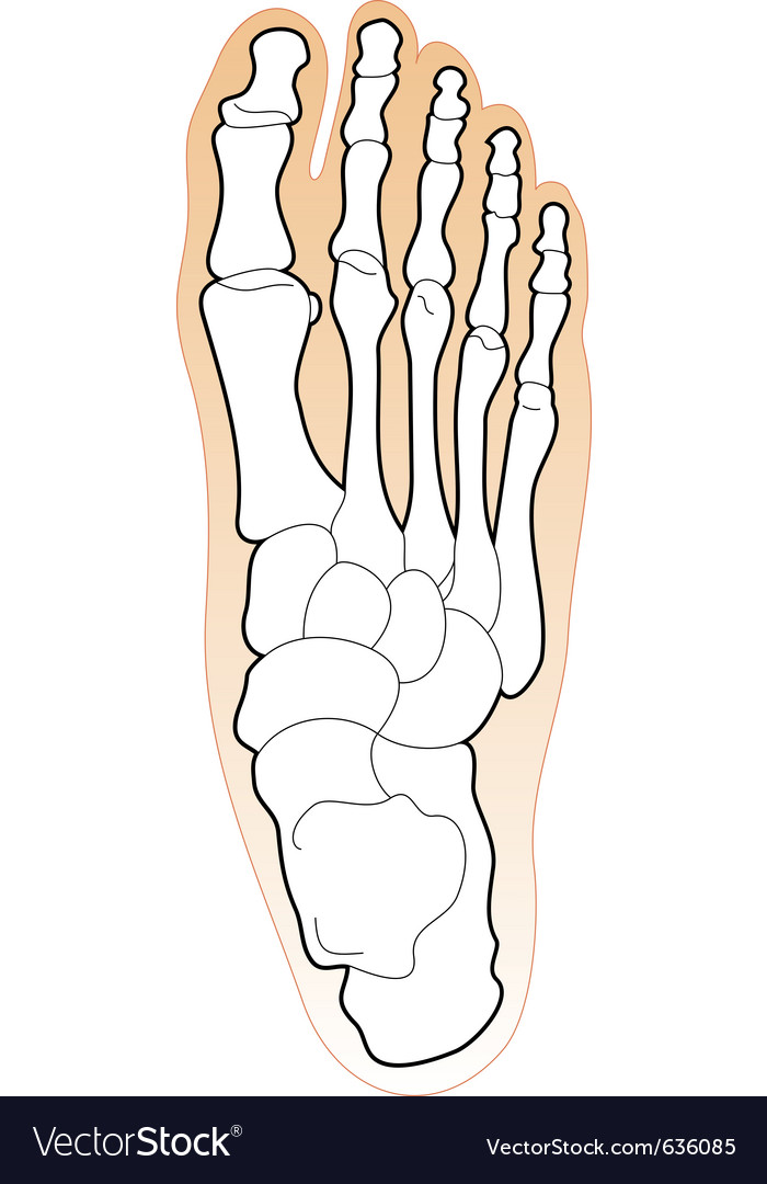 Bones of a human foot vector | Price: 1 Credit (USD $1)