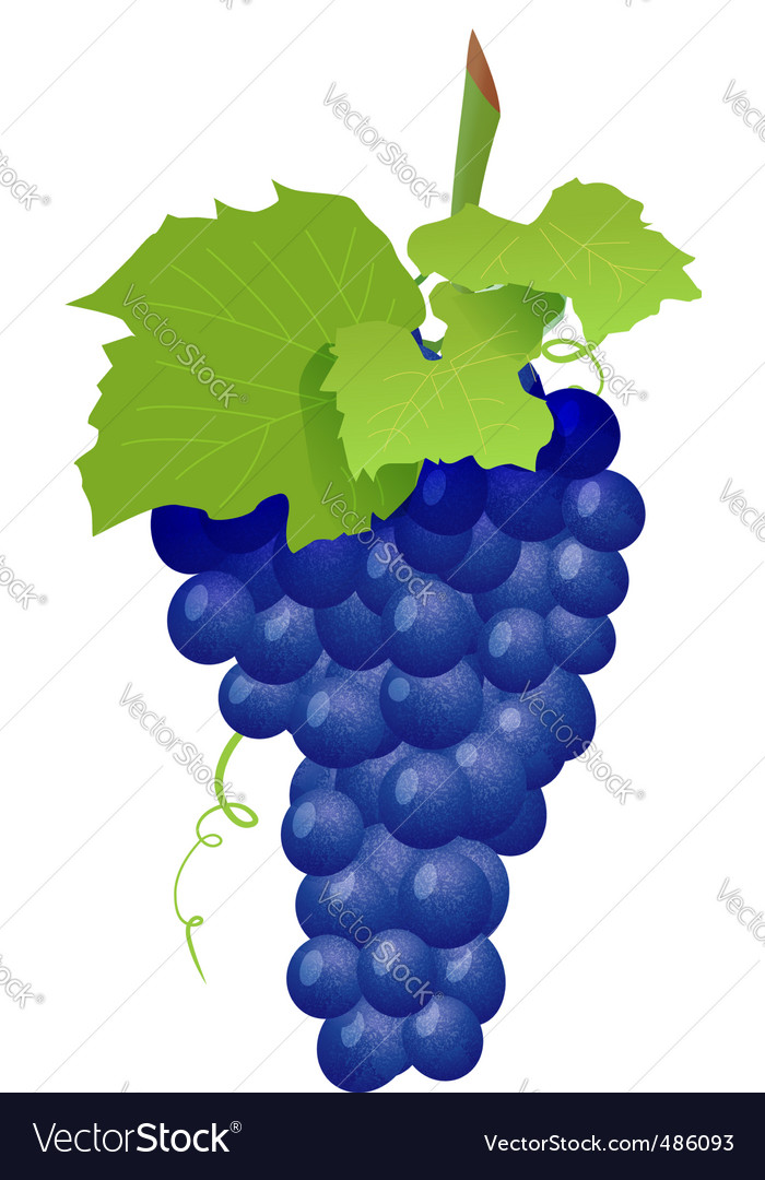 Grape cluster isolated on white vector | Price: 1 Credit (USD $1)