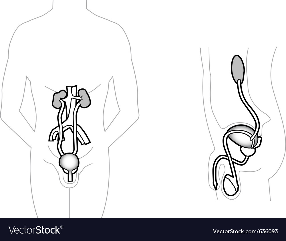 Male urinary system vector | Price: 1 Credit (USD $1)