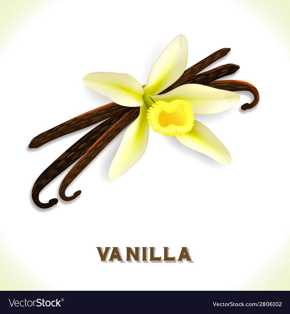 Vanilla pod isolated on white vector | Price: 1 Credit (USD $1)