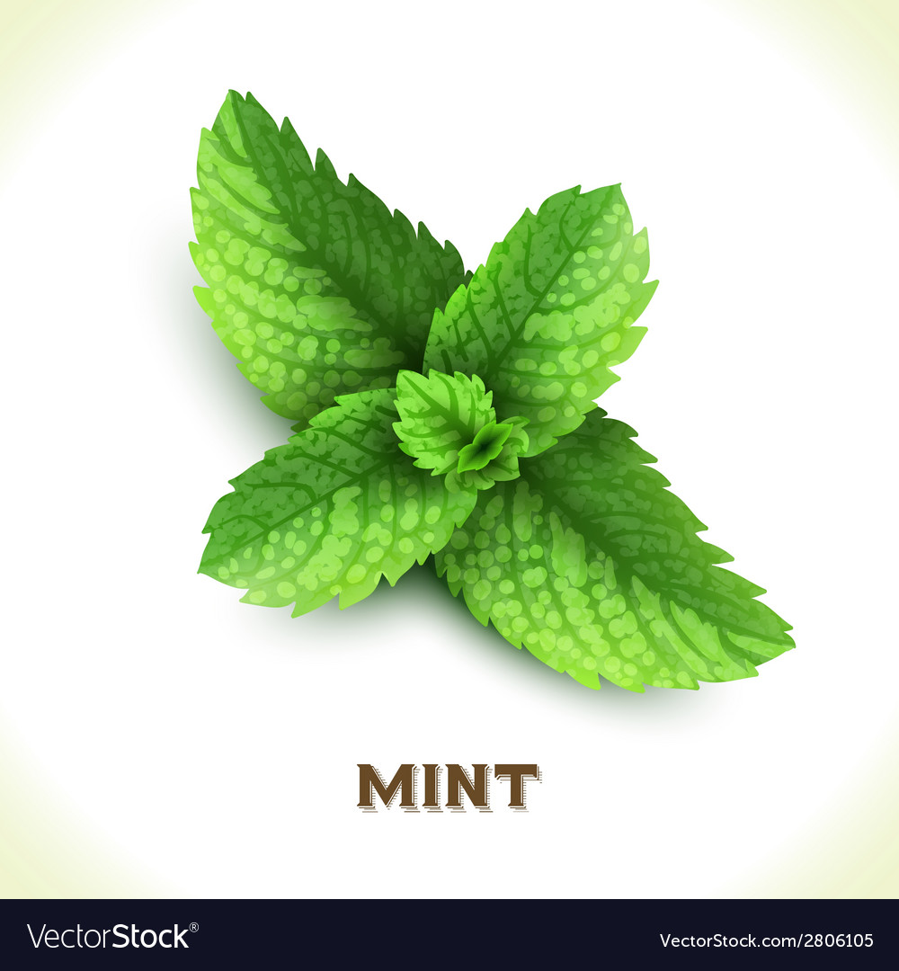 Mint leaf isolated on white vector | Price: 1 Credit (USD $1)