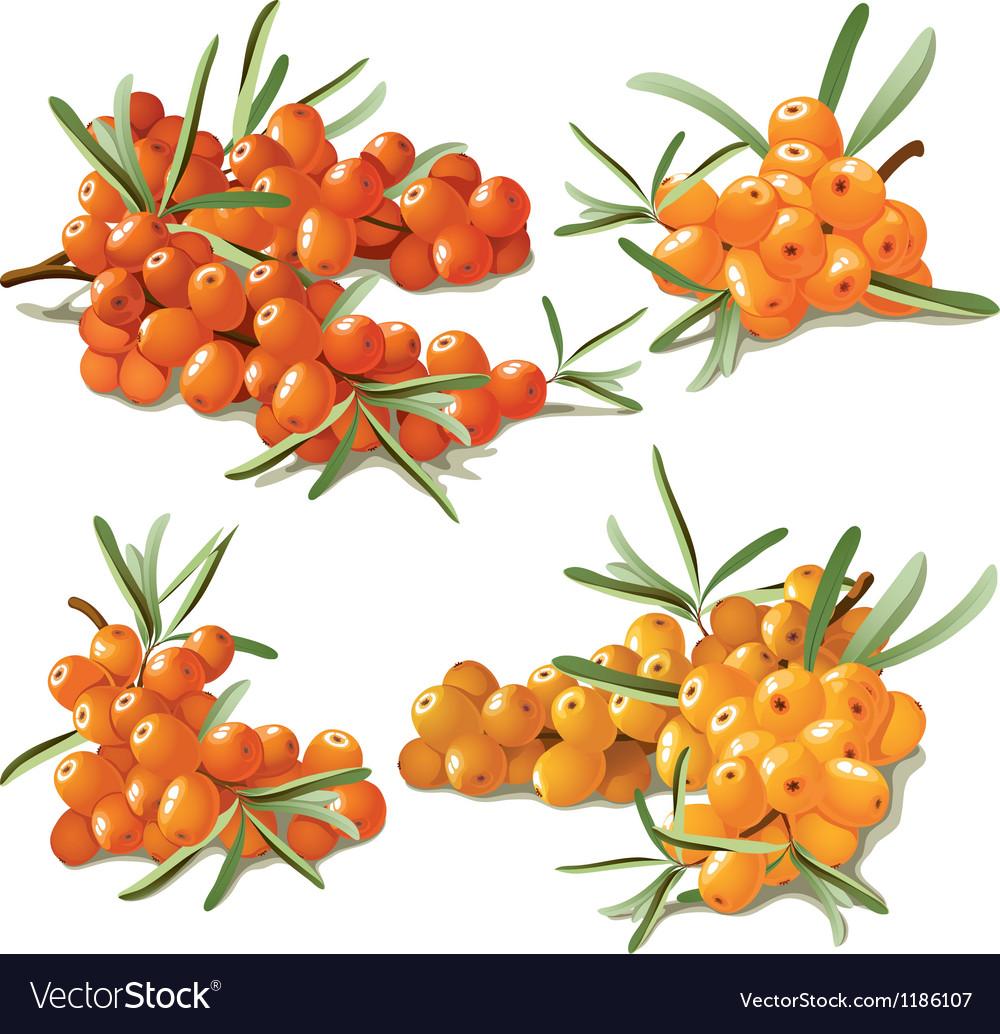 Set of ripe sandthorn vector | Price: 3 Credit (USD $3)