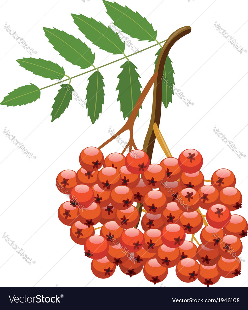 Branch of mountain ash tree vector | Price: 1 Credit (USD $1)