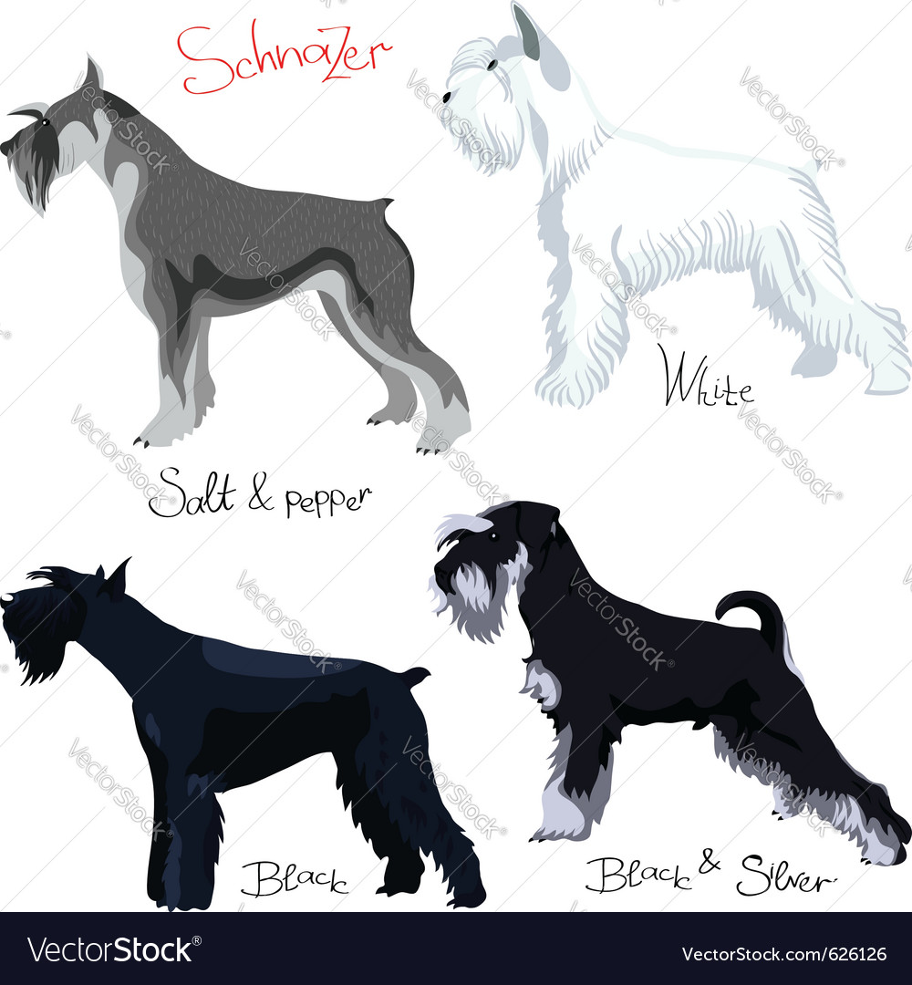 Schnauzer dogs vector | Price: 1 Credit (USD $1)