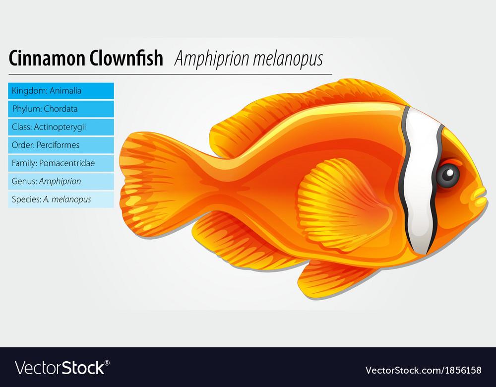 Cinnamon clownfish vector | Price: 1 Credit (USD $1)