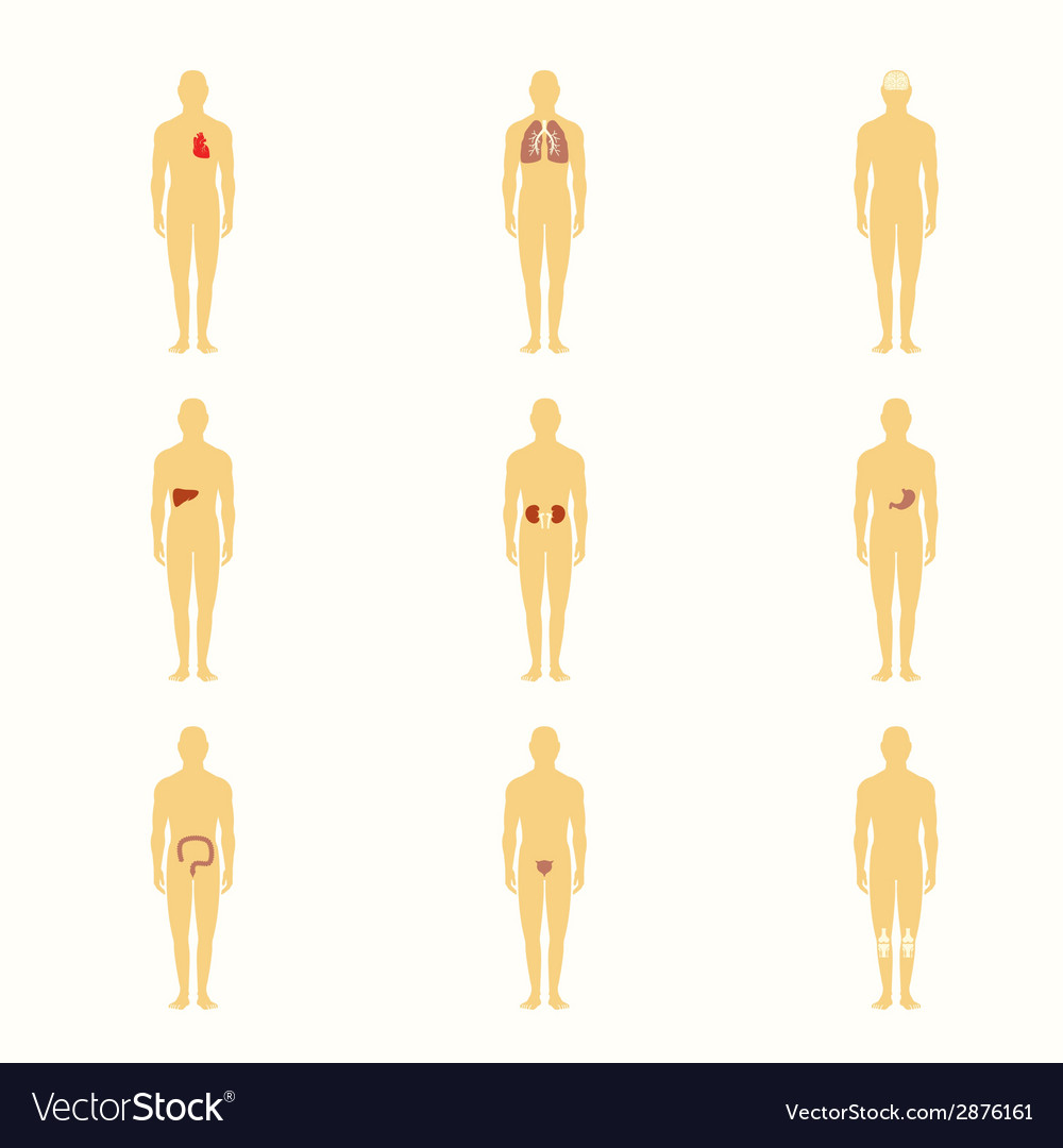 Human figures with internal organs vector | Price: 1 Credit (USD $1)