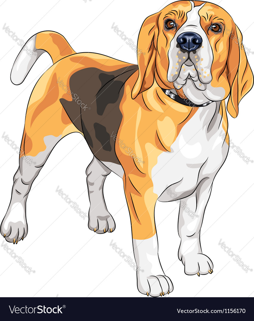 Sketch serious dog beagle breed vector | Price: 1 Credit (USD $1)