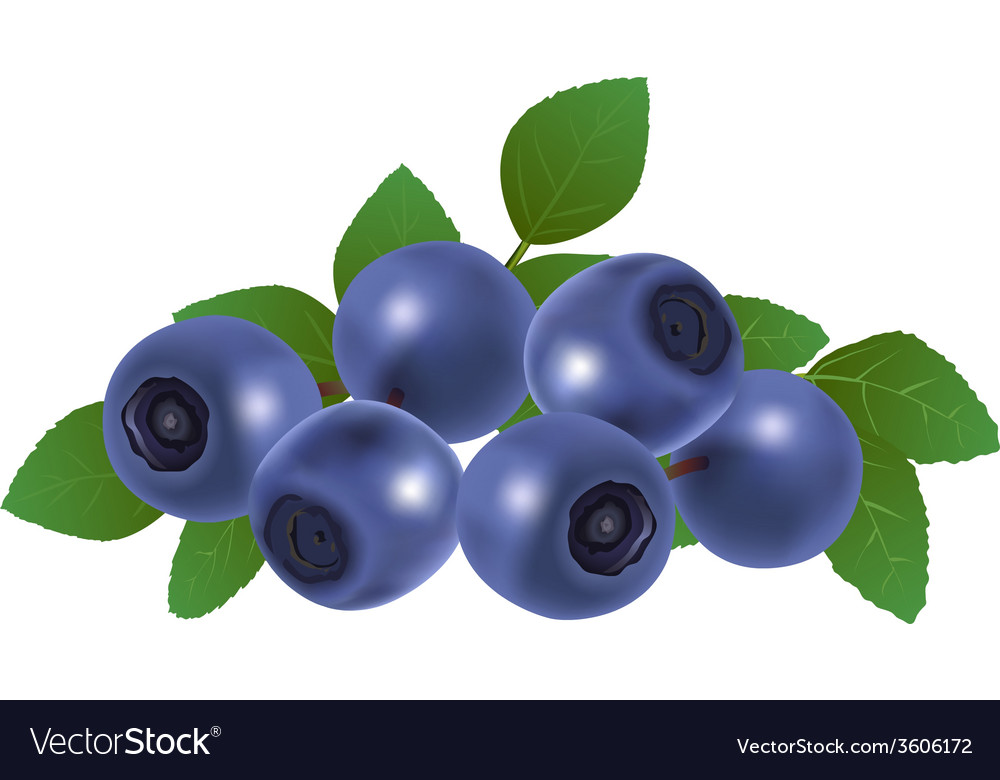 Blueberries vector | Price: 1 Credit (USD $1)