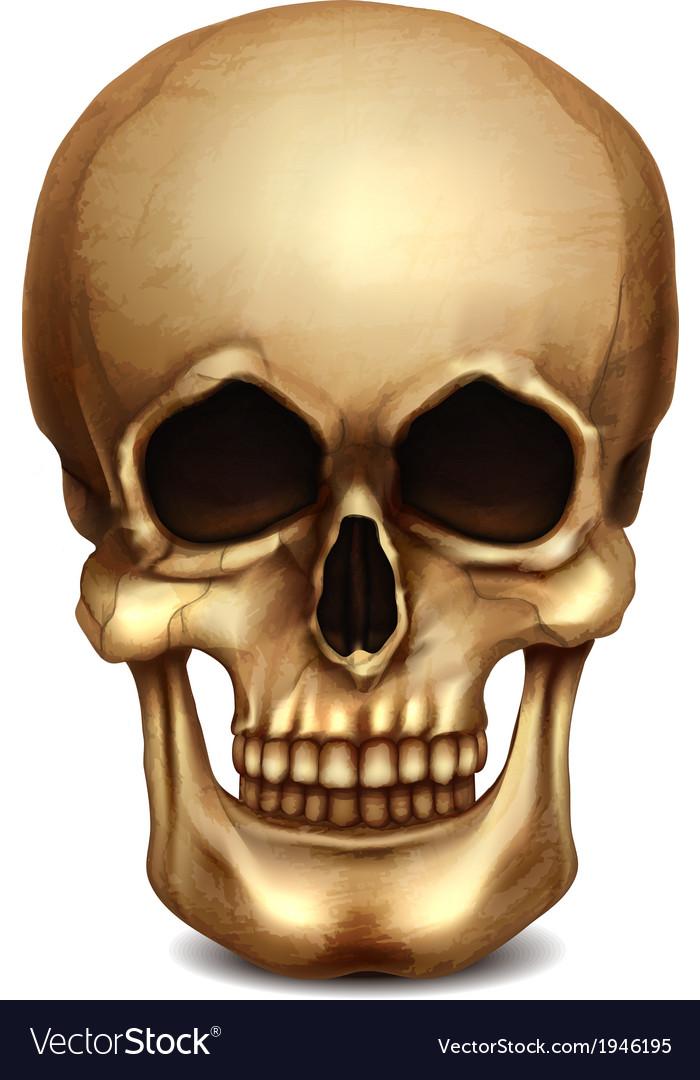 Realistic skull vector | Price: 1 Credit (USD $1)