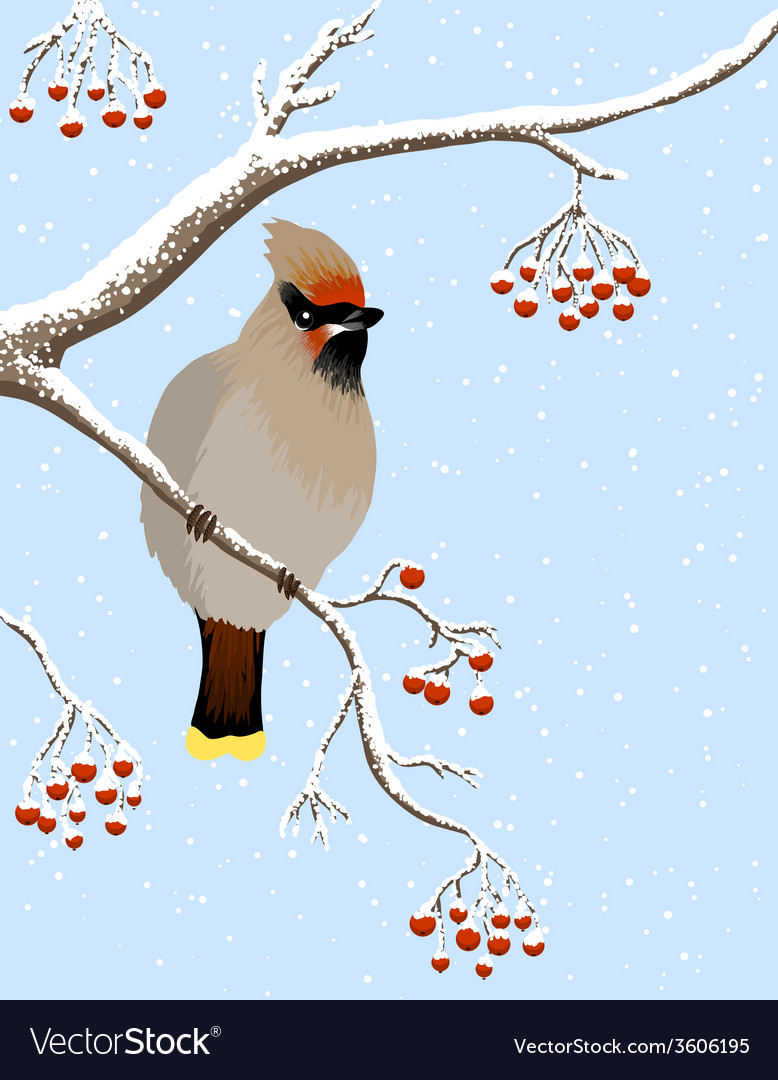 Waxwing and rowanberries vector | Price: 1 Credit (USD $1)