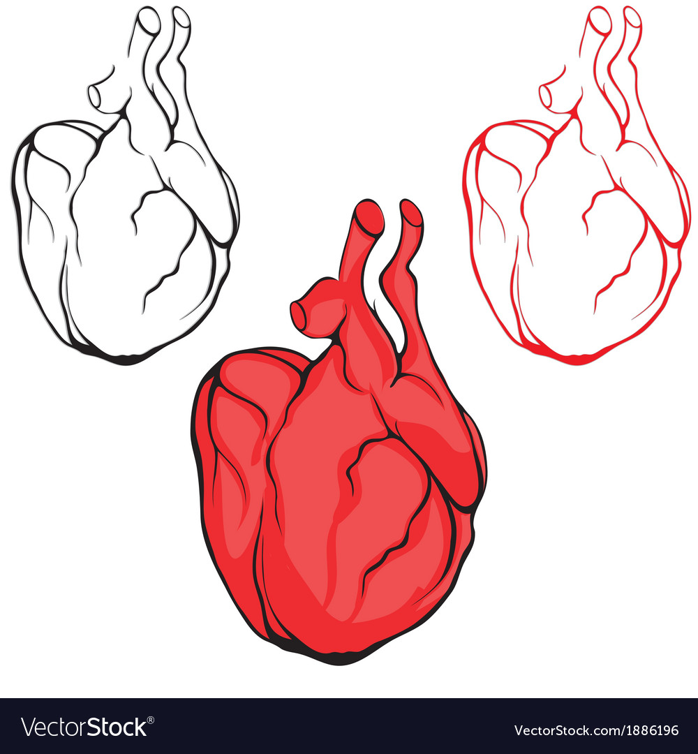 Heart human body anatomy red sketch vector | Price: 1 Credit (USD $1)