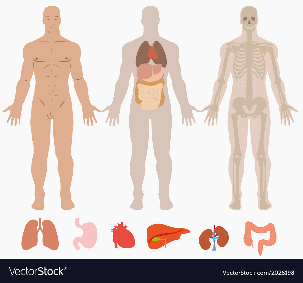 Human anatomy diagram vector | Price: 1 Credit (USD $1)