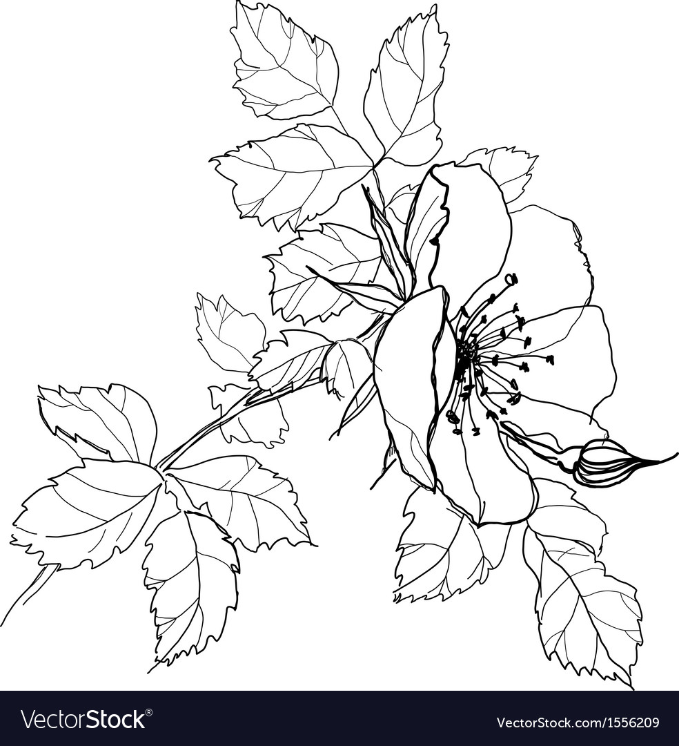 Rose flower pencil drawing vector | Price: 1 Credit (USD $1)